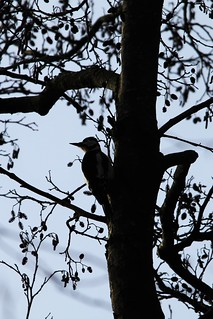 Woody Silhouette
