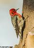 Red-breasted Sapsucker (orencobirder) Tags: birds largebirds flickrexport woodpeckers