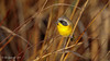 Commom Yellowthroat (Bob Gunderson) Tags: alamedacounty arrowheadmarsh birds california commonyellowthroat eastbay northerncalifornia warblers woodwarblers geothlypistrichas coth coth5 ngc