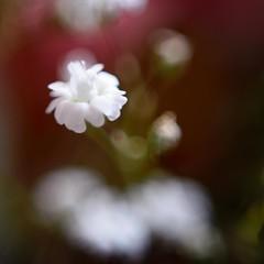 Micro flower macro (Fer-B.) Tags: 50mm closeup d610 flower macro nikon pollen red bokeh