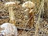 Symbiotic Mushrooms - Sabino Canyon Nature Walk - December 27, 2017 (Chic Bee) Tags: mushroom symbiotic symbiosis sabinocanyon naturewalk underground plant mesquite tree tucson arizona americansouthwest southwesternusa undergroundplant sonorandesert