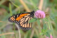 Monarch Butterfly 499 - Danaus Plexippus (Chrisser) Tags: insects insect butterflies butterfly monarch danausplexippus nature ontario canada canoneosrebelt6i canonef75300mmf456iiiusmlens nymphalidae
