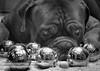 French Conection (vikingphotographylargs) Tags: doguedebordeaux french boules dogs blackandwhite pets