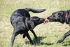 When your brother takes your things (rachel.kornblum) Tags: dog blacklab labs dogparks labrador playing spring summer canda dogpark puppies