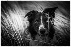 In the Grass Time (JJFET) Tags: border collie dog sheepdog