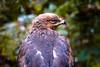 Schreiadler (100er) Tags: bayerischerwald natur schreiadler