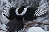 Incoming. Black Billed Magpie. (ebeckes) Tags: blackbilledmagpie magpie bird corvid pica hudsoniaolympus em i iipanyleica 100400