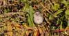 _U7A0311 (rpealit) Tags: scenery wildlife nature liberty marsh wallkill river national refuge whitethroated sparrow bird
