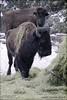two (zawaski) Tags: buffalo ranch boundry albertadogsleddingbeautycanmorefoundryranchnoflashzawaski©2018rockymountainsnaturallightcanadalovecalgaryambientlightkoreacanonefs55250mmf456isstm copy rite r e zawaski ©2018