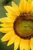 Part of a Sunflower 3-0 F LR 7-22-17 J048 (sunspotimages) Tags: flower flowers sunflowers sunflower yellow yellowflower yellowflowers yellowsunflowers yellowsunflower nature macro closeup