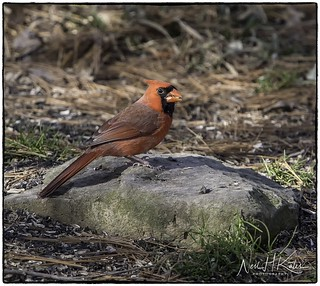 Male Northern Cardinal_DSC9349 photoshop NIK edit  ©