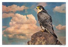 Peregrine Falcon ~ Rock and Hawk (Johnrw1491) Tags: poem poetry falcon birds peregrine hawk symbols nature wildlife textures