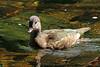 Female Mandarin Duck on the River Dart at Buckfastleigh. (ronalddavey80) Tags: infocus highquality duck