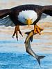 Bald Eagle (Brian E Kushner) Tags: green american baldeagle bald eagle fish fishing raptor wings talon beak king flying flight inflight haliaeetusleucocephalus conowingo dam conowingodam darlington md maryland d4s nikond4s bird birds bkushner wildlife animals birdwatcher ©brianekushner nikonafsnikkor800mmf56efledvrlens nikon afs nikkor 800mm f56e fl ed vr lens tc800125e tc800125eed