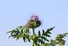CKuchem-2055 (christine_kuchem) Tags: acker ackerrand agrarlandschaft biene bienenfreund bienenweide blühstreifen blüte boden bodenverbesserung dünger düngung feld felder grün gründünger insekten klee kulturlandschaft landwirtschaft lupinen mischung nahrung nektar phacelia ramtillkraut sommer verbesserung winterroggen bio biologisch blau lila naturnah natürlich