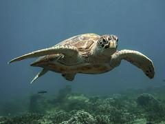 Teluk Jawa resident (aantwaarpe) Tags: turtle diving underwater dive sea schildpad tortue marinelife