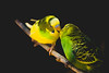 parakeet.. (ckollias) Tags: zoo zoolife animalthemes animalwildlife animalsinthewild bird blackbackground budgerigar closeup greencolor outdoors nature night nopeople oneanimal parakeet parrot perching yellow zooanimals zoology zoophotography