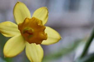 Winter Daffodil 🌼