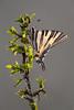 Segelfalter │ Scarce swallowtail  Iphiclides podalirius (Bluesfreak) Tags: schmetterlinge tagfalter