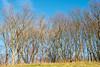 Berlin, Marzahn: Bäume am Kienberg vor unglaublich blauem Dezemberhimmel - Trees on Kienberg Hill in front of an incredibly blue December sky (riesebusch) Tags: berlin marzahn