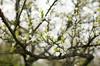 Plum Blossoms (Enaruna) Tags: ast baum blooming blossoming blossoms blühend blüten branch branches bäume flowering fruittreeblossoms frühling obstbaumblüten pflanze pflanzen pflaume pflaumenblüte pflaumenblüten plant plants plum plumblossom plumblossoms spring tree trees zweige zwetschgenblüte zwetschgenblüten äste