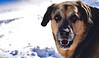 Kobe Jan 2018 (Sage Girl Photography) Tags: snow kobe winter white pse expression excited cold january yard wilmington northcarolina rescue sagegirl nikond3300