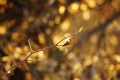 DSC00032 (gracerim) Tags: a6000 sony mirrorless fall autumn winter december ontario canada field nature plants trees grass wildflower milkweed seeds weeds sunset golden hour toronto 2017 warm sun bokeh macro landscape photography