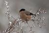 Bullfinch (xarneymx) Tags: bullfinch snow winter meinerswijk arnhem canon
