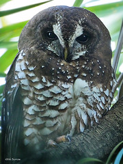 African Wood Owl Strix woodfordii umbrina (nik.borrow) Tags: bird owl
