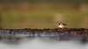 Ringed plover (Magnus_R) Tags: bird charadriushiaticula commonringedplover fågel hane male sittande sitting sommar störrestrandpipare summer sverige sweden öland ♂