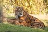 Sumatran Tiger Cubs (CChard) Tags: animalkingdom disneyworld animals sumatrantiger tiger tigercubs