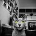 Robert Emmerich - 68 B+W Ara Pacis the Russian Blue cat as Model in Berin - Germany