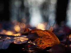 A    N E W    B E G I N N I N G (Vivi Black) Tags: nature outside woods forest sunset sunlight sun leaf colors blure macro bokeh winter