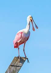 Roseate Spoonbill, Peaceful Waters Wildlife Sanctuary, 3 February 2013 (c) 2013 Paul Thomas. All rights Reserved.