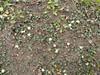 Lake Flora Dichondra (i) (Royal Tasmanian Botanical Gardens) Tags: pc213436 rtbg tscc jawood australia tasmania centralhighlands centralplateauconservationarea lakeflora geo:country=australia geo:state=tasmania plantae solanales convolvulaceae dichondra dichondrarepens kidneyweed taxonomy:kingdom=plantae taxonomy:order=solanales taxonomy:family=convolvulaceae taxonomy:genus=dichondra taxonomy:binomial=dichondrarepens