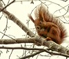 (#3.382) Red squirrel (unicorn 81) Tags: 18200mm eichhörnchen sciurusvulgaris redsquirrel animals tier