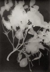 Branche (série 1-5) (Franck Huet) Tags: photogramme lumen plante plant flou bokeh analog analogue argentique undeveloped film print altprocess color noirblanc nb blackwhite bw alternativephotography sunprint agfa brovira rayogramme rayographe