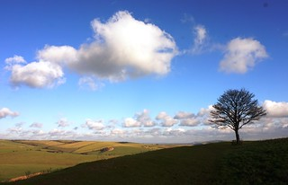Lone tree on northern side of Cissbury Ring 2