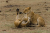Who Needs  a Belly Rub? (John Piekos) Tags: africa playful safari bellyrub cute asilia cubs 18300mm lion naboishocamp kenya wildlife furry grasslands masimaragamereserve wildanimal d7000 playing masaimara nikon