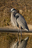 Staying warm out of the wind (John's Love of Nature) Tags: greatblueheron ardeaherodias johnkelley