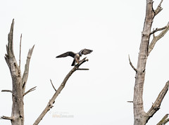 Peregrine Falcon (Falco peregrinus) (jkinglet2) Tags: peregrinefalcon nisquallynationalwildliferefuge nisqually falcon