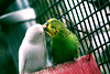 Cute Loveee never seen before!!! (cyclone009) Tags: birds cute love neverseenbefore kissing thousandkisses candid oneshot colours vividcolours lovetowatch caring partnersforlife exampleoftruelove sharingiscaring tinyones