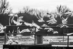 IMG_6869-1ri (kleiner nacktmull) Tags: apsc black blackandwhite bw canon camera city dslr deutschland europe eos europa foto flickr fluss flus germany grey grau hauptstadt hesse hessen kolle kleinernacktmull kamera lens landschaft landscape manuell manual m42 monochrome nacktmull nature natur objektiv photo rheinmaingebiet rhein river rhine main möwen lachmöwen tiere animals birds vögel russian russianlens russisch stephankolle stephan stadt schwarzweis schwarz sw ufer 60d 135mm tair11a tair 2018 biebrich wiesbaden larusridibundus larus ridibundus blackheadedgull gull chroicocephalusridibundus chroicocephalus seagulls weis white