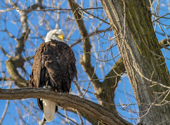 The Watcher (114berg) Tags: 06jan18 bald eagles mississippi river ld14 leclaire iowa