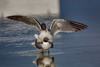 Pillow Talk (Kathy Macpherson Baca) Tags: animal animals bird birds florida beach gull laughing mate nesting world planet earth water fly aves inlet bay feathers nature wildlife