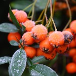 Frosty berries thumbnail