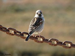I see you ! (Armelle85) Tags: extérieur nature animal oiseau moineau macro faune