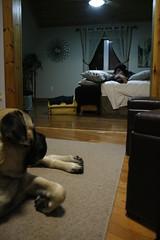 december23rdthru30th 134 (condor avenue) Tags: december23rdthru30th patrip2016 xmastrip2016 pensylvania lancaster mastiff