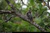 20150711_20 Woodpecker (lesser spotted woodpecker, Dryobates minor?)   Trail between Herrvik & Sysne, Gotland, Sweden (ratexla) Tags: ratexla'sgotlandtrip2015 nonhumananimals dinosaur herrviksysneleden 11jul2015 2015 wildlife nature animals gotland sweden sverige canonpowershotsx50hs cute beautiful cool scandinavia scandinavian europe nordiccountries norden skandinavien earth tellus photophotospicturepicturesimageimagesfotofotonbildbilder biology zoology djur bird birds fågel fåglar ornithology wild vild vilda life organism europaeuropean nonhumananimal animal dinosaurs dinosaurie dinosaurier lesserspottedwoodpecker mindrehackspett dryobatesminor maybe hackspett woodpecker woodpeckers hackspettar ratexla photosbyjosefinestenudd almostanything unlimitedphotos favorite