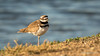 Killdeer (Bob Gunderson) Tags: birds california charadriusvociferus killdeer northerncalifornia plovers santaclaracounty shorebirds shorelinelake southbay